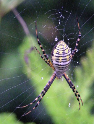 Banded Garden Spider What 39 S That Bug