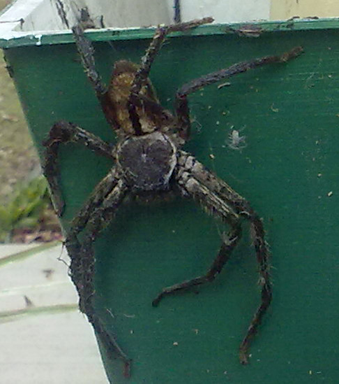 Grey Huntsman Spider from Australia - What's That Bug?