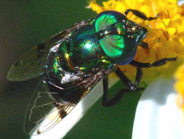 Green Hover Fly From Florida What S That Bug