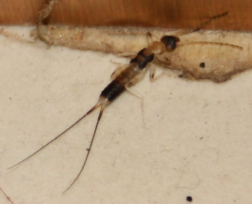 how to get rid of earwigs in your house
