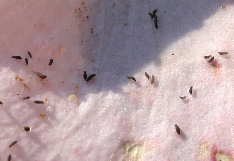 Springtails in south africa what 39 s that bug Springtails in swimming pools