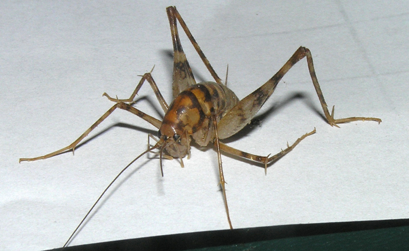 camel cricket what 39 s that bug
