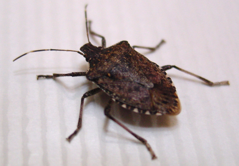 Stink Bugs In My Bed
