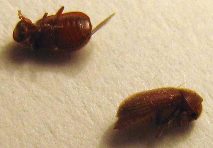 Drugstore Beetles Australia 2 Sam