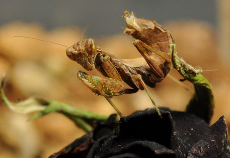 how to take care of a praying mantis egg sack