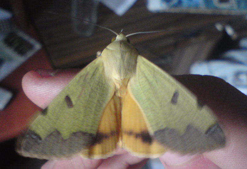 Fruit Piercing Moth And Cocoon From Israel Green Drab