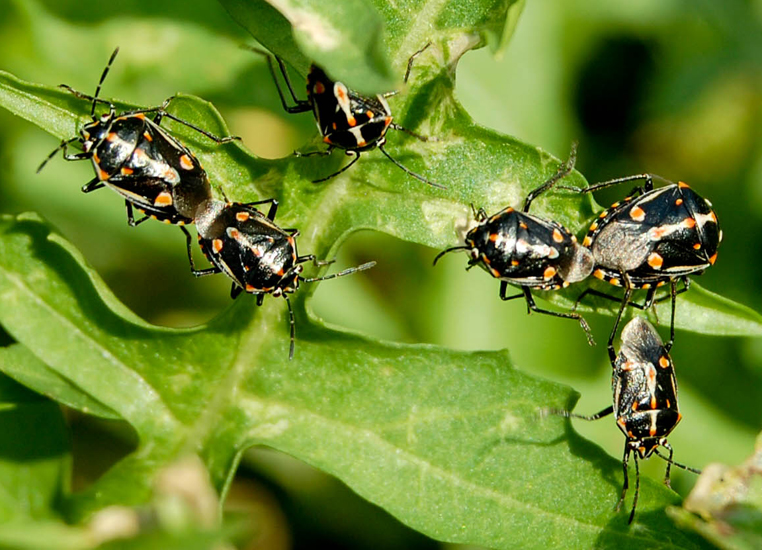 Painted Bugs Mating: Invasive species from Africa - What's That Bug?
