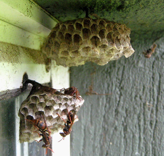 how to stop paper wasps from building nests