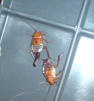 Cape Zebra Cockroaches From South Africa What S That Bug