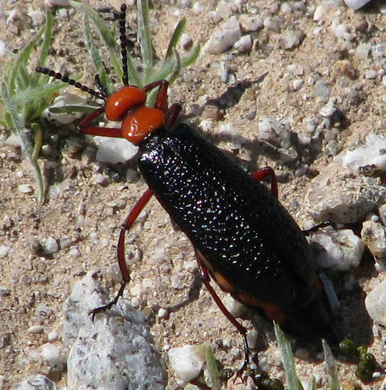 Master Blister Beetle What S That Bug