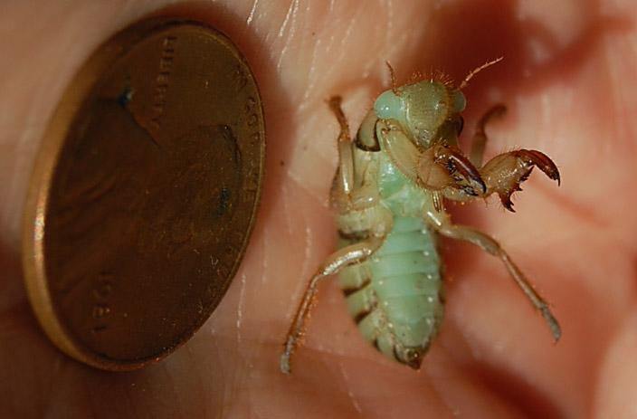 cicada nymph - photo #13
