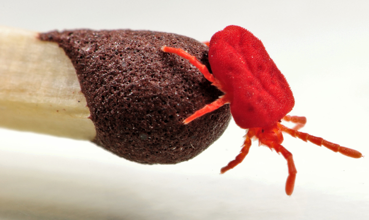 velvet mite what 39 s that bug. Black Bedroom Furniture Sets. Home Design Ideas