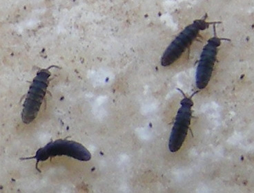 Springtails What S That Bug