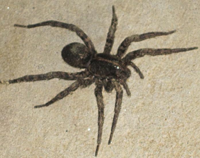 Carolina Wolf Spider, we believe - What's That Bug?