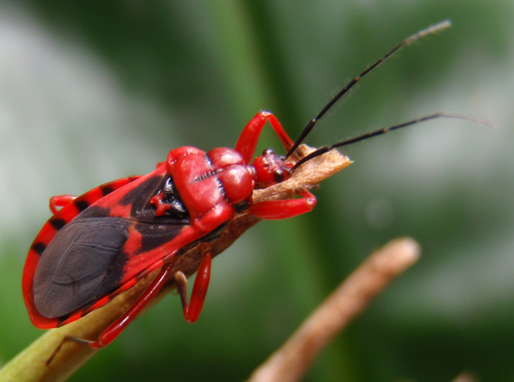 Assassin Bug From Hawaii What S That Bug