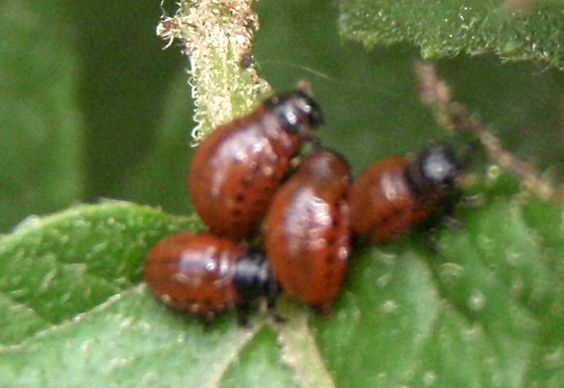 Colorado Potato Beetle: Life Cycle from Bulgaria - What's ...