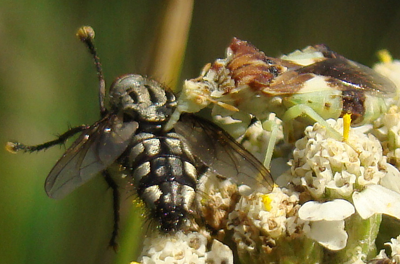 Ambush Bug Eats Flesh Fly What S That Bug
