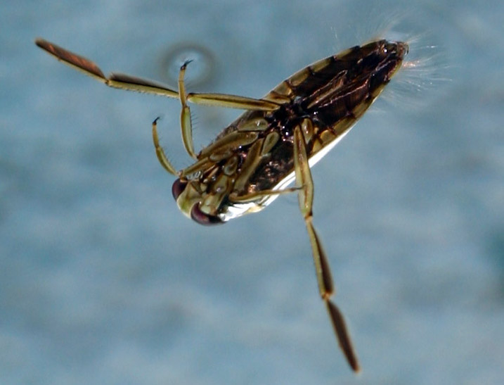 Water flies in bathroom bathroom pests watch out for these water lovin bugs american roaches Springtails in swimming pools