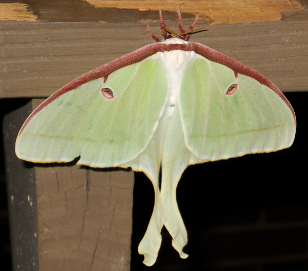 Luna Moth - Rare Specimen Archives - Page 14 of 35 - What ...