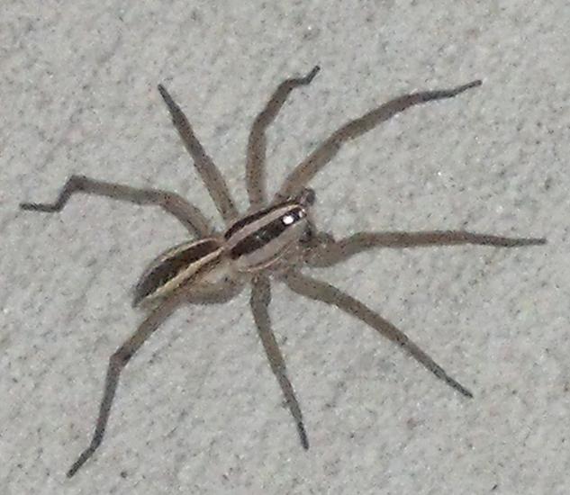 rabid_wolf_spider_joseph.jpg