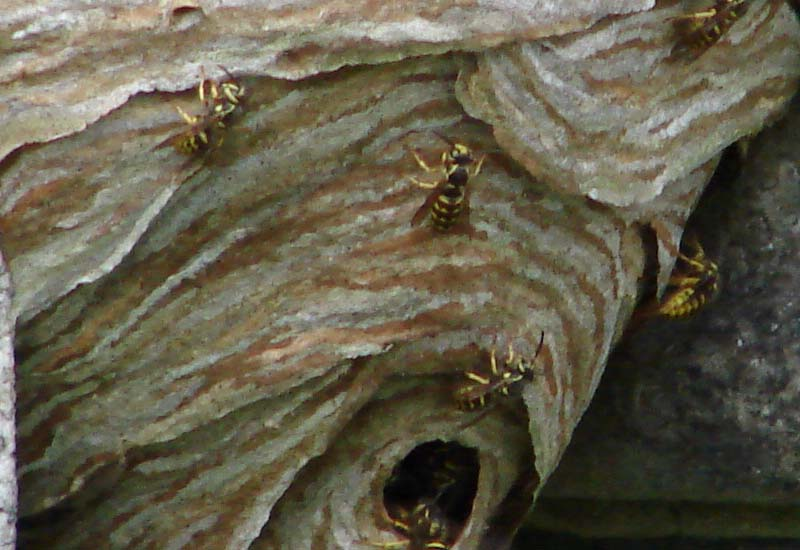 Our Favorite Letter of the day: Aerial Yellowjackets nest ...