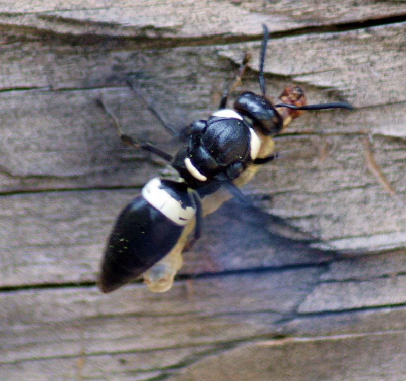 wasp mason caterpillar bug captures whatsthatbug