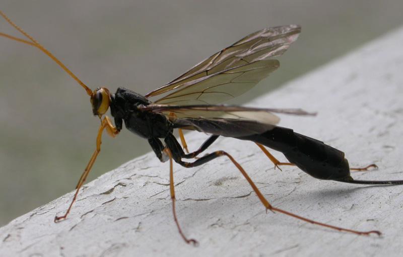 Bug of the Month September 2010: Giant Ichneumon - What's ... Black Ichneumon Wasp