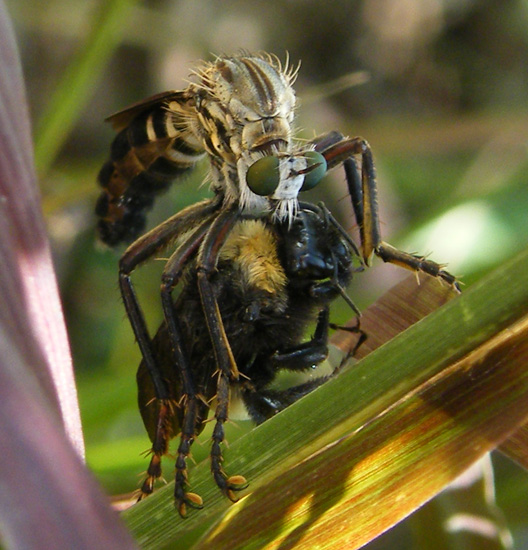 Robber Fly eats Bumble Bee - What's That Bug?