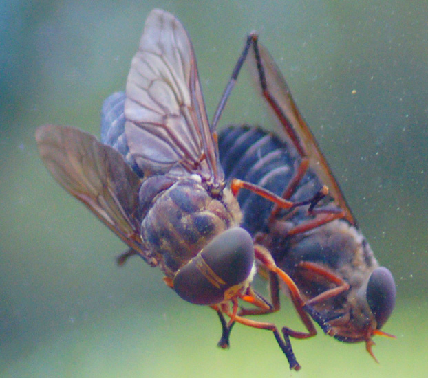 Horse Fly What S That Bug