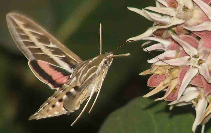 White lined sphinx moth - photo#4
