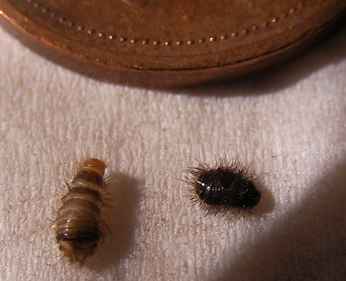 Carpet Beetle Larvae in Canada - What's That Bug?