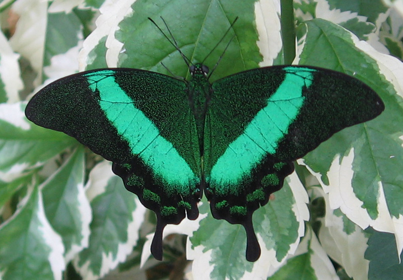Green peacock butterfly - photo#1