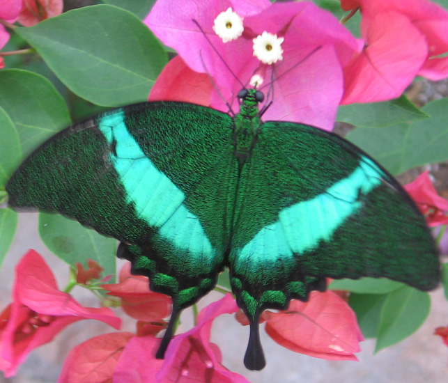 Green peacock butterfly - photo#17
