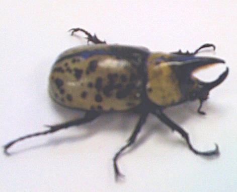 Large black beetle maryland, green pest control atlanta