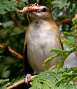 What Eats A Robin In A Food Chain