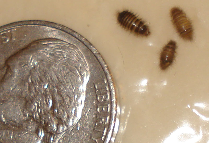 Carpet Beetle Larvae  NOT Bed Bugs. Bed Bug hysteria leads to misidentified Carpet Beetle Larvae