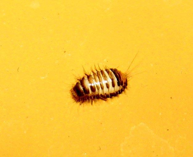 Bed Bug Larvae Carpet Beetle L...