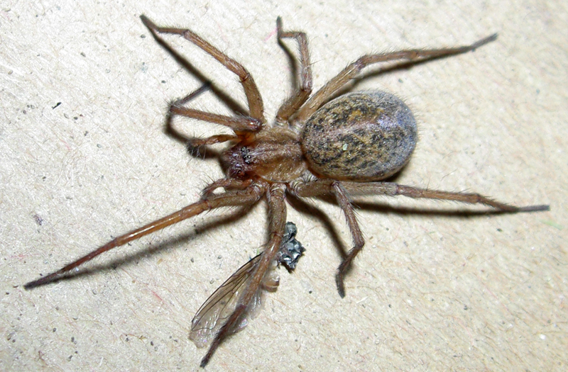 Hobo Spider - What's That Bug?