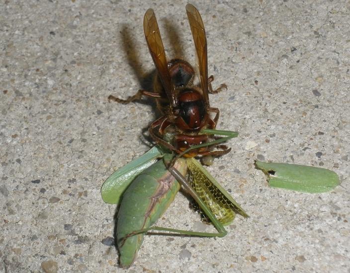 Hornet Vs Praying Mantis European Hornet eats Mantis