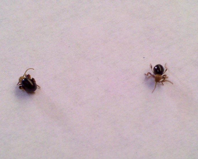 Spider Beetles - What's That Bug?
