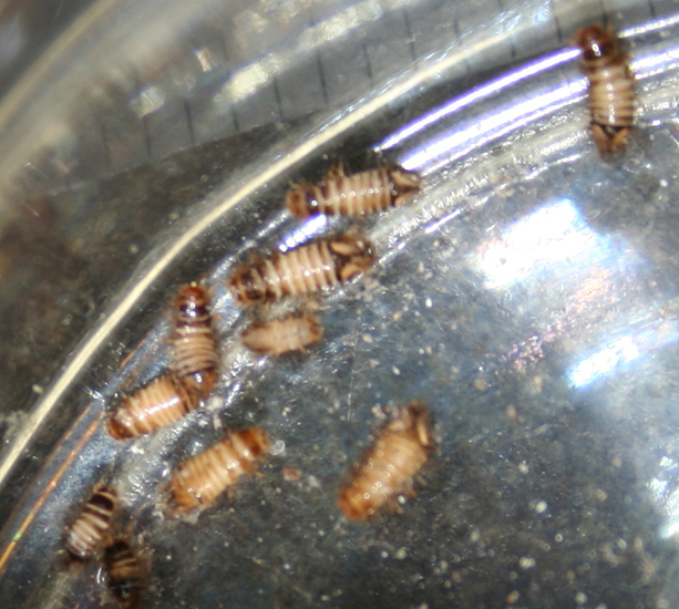 Carpet Beetle Larvae mistaken for Bed Bugs yet again ...