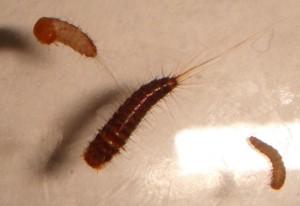 Carpet Beetle Larvae From Iran Not Causing Bites What S