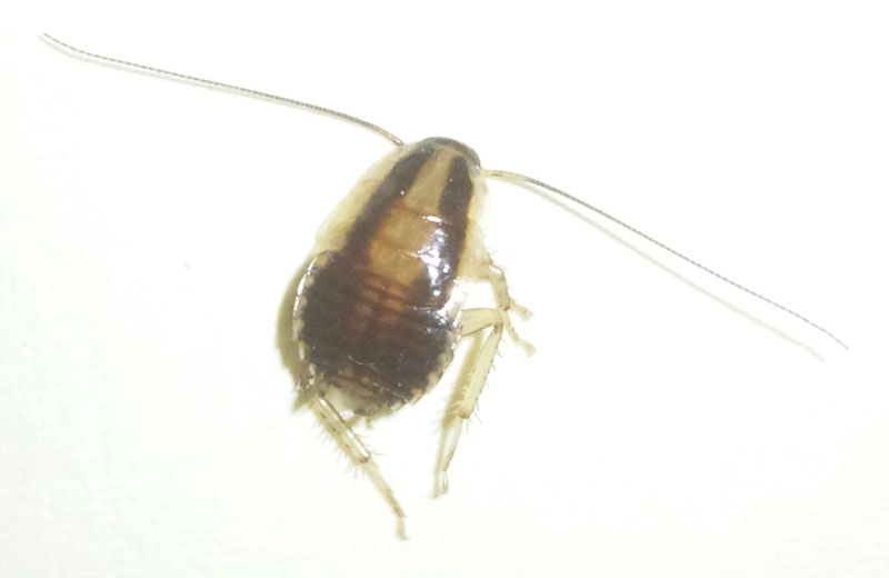 Cockroach Nymph Or Bed Bug