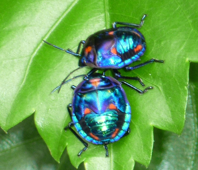 Cotton Harlequin Bug Nymphs from Australia - What's That Bug?