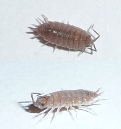 A Look at Bed Bug LookAlikes  PCT  Pest Control Technology