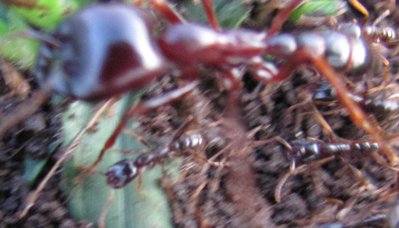 Siafu ants eating people