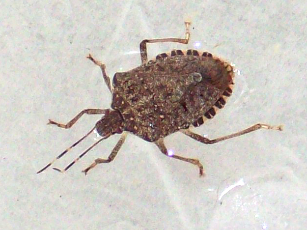 Brown Marmorated Stink Bug What S That Bug