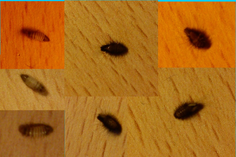 common carpet beetle. Carpet Beetle Larvae
