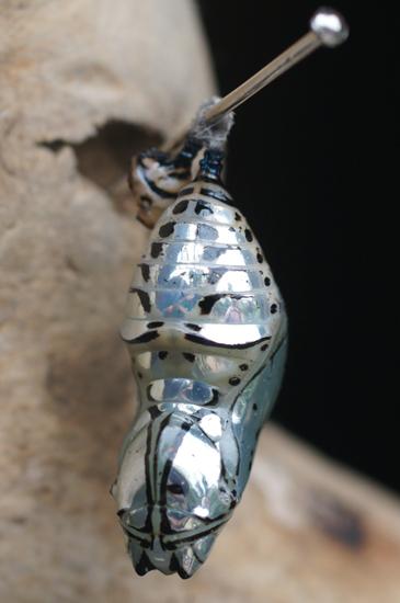 http://www.whatsthatbug.com/wp-content/uploads/2010/12/chrysalis_metallic_nymphalidae_costarica_patrick.jpg
