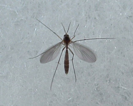 What do fungus gnats look like